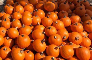 Mr Jack O Lantern Pumpkins Patch - event 2