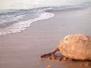 Museum of Discovery and Science (MODS) - Sea Turtle Walks 2021